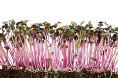 Red cabbage sprouts Royalty Free Stock Images