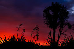 Red Cabbage tree Silhouette Royalty Free Stock Photography