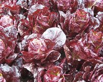 Red cabbages Royalty Free Stock Image