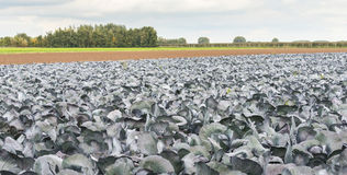 Red cabbages growing in the field Royalty Free Stock Images