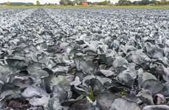 Red cabbages growing in the field Royalty Free Stock Photo