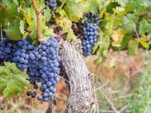 Red cabernet sauvignon grapes Stock Photos