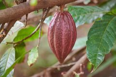 Red cacao pod on tree branch. Close up view stock image