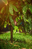 Red cacao pod on tree. In latin america plantation Stock Photos