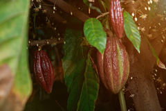 Red cacao pods on tree. Between green leafs and flowers Royalty Free Stock Images