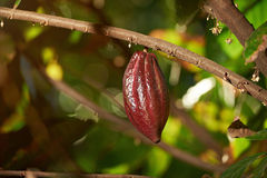 Red cacao raw fruit. Hang on tree branch close-up in sunny day light Royalty Free Stock Photography