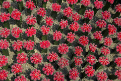 Red cactus (Uebelmannia)1 Stock Photography