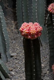 Red cactus (Uebelmannia)2 Stock Photography