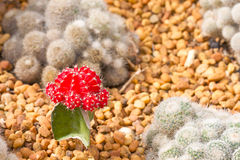 Red cactus Royalty Free Stock Image