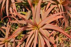 Red cactus Stock Image