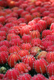 Red cactus Stock Photography