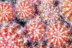 Red cactus at the above-right in the frame (Selected focus) with. Others Royalty Free Stock Image