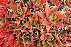 Red cactus autumn nature flora stock image