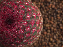 Red cactus with beautiful patterns. Green trunk with red spines in the middle of white Stock Photography