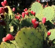 Red cactus blooms. A close up of cacti with red blooms stock photo