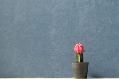 The red cactus. With dark blue wall Stock Photos