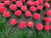 Red cactus field Stock Image