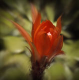 Red Cactus Flower Stock Photography