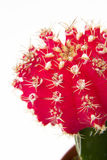 Red Cactus Flower Stock Photo