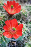 Red cactus flower Royalty Free Stock Photography