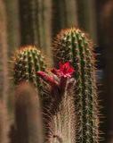 Red cactus flower Stock Images