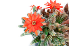 Red cactus flower. Over white background stock image