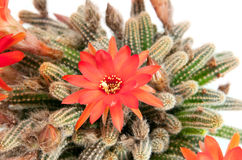 Red cactus flower over white Stock Photos