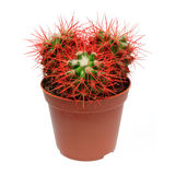 Red cactus in flowerpot Royalty Free Stock Image