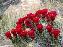 Red Cactus Flowers Stock Photography
