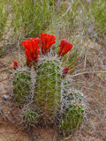 Red cactus flowers Bloom Stock Image