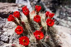 Red cactus flowers Royalty Free Stock Photos