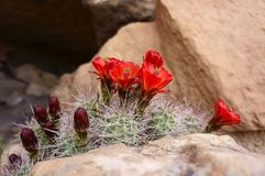 Red Cactus Flowers Stock Image