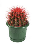 Red cactus in a pot Stock Image