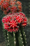 Red cactus (Uebelmannia) Royalty Free Stock Photo