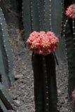 Red cactus (Uebelmannia)2 Stock Photography