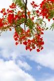 Red Caesalpinia pulcherrima Stock Photography