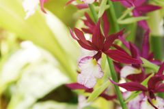 Red Calanthe Orchid Flowers. Exotic Red Calanthe Orchid Flowers stock image