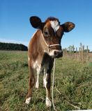 Red Calf Royalty Free Stock Images