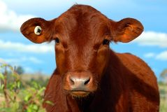 Red Calf. Portrait of a Red Angus bull calf royalty free stock photos