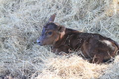 Red calf laying in hay full body Stock Photo