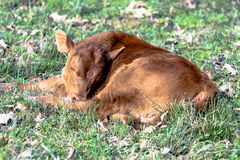 Red calf sleeping in a pasture Royalty Free Stock Photo