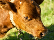 Red calf Royalty Free Stock Photography