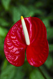 Red calla Stock Photos