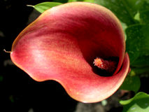 Red calla Stock Images