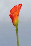 Red calla Royalty Free Stock Photo