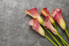 Red calla flowers (Zantedeschia) on grey background Stock Photography