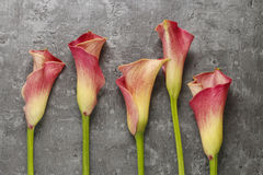Red calla flowers (Zantedeschia) on grey background. Copy space Royalty Free Stock Photography