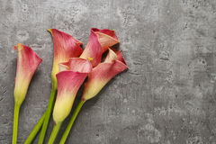 Red calla flowers (Zantedeschia) on grey background Royalty Free Stock Image