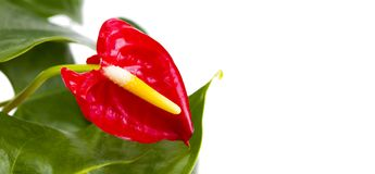 Red Calla, heart shape, on white background. Anthurium tropical. Plant, of arum araceae group of plants Stock Image