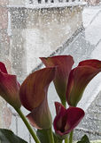 Red calla lilies and rain Royalty Free Stock Image